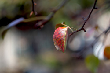 Autumn pear leaf