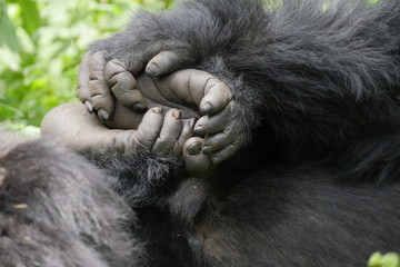 Hände und Füße eines Berggorilla