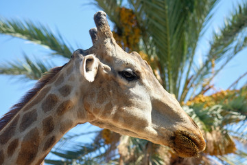Close up profile muzzle of giraffe against blue sunny sky and palm tree lush leaves. Spain