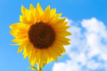 Sonnenblume - Biene mit blau weisem Himmel