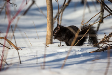 Black squirrel feeding in mid winter in a boreal forest Quebec, Canada.