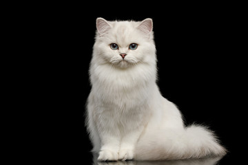 Adorable British breed Cat White color with Blue eyes, Sitting and looking in Camera on Isolated Black Background, front view Wall mural