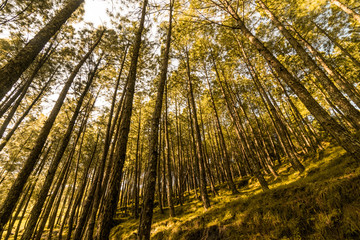 Pine Tree Forest in Bageshwar, Uttarakhand, India