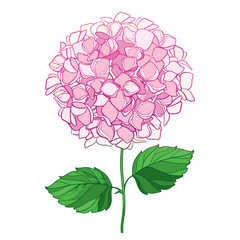 Vector drawing of outline Hydrangea or Hortensia flower bunch in pastel pink and ornate green leaves isolated on white background. Contour ornamental garden plant Hydrangea for summer design.