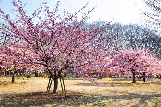 Cherry blossoms in Yoyogi park