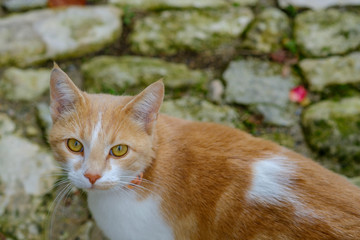 Joli chat tacheté, roux et blanc dans la rue. Gros plan.