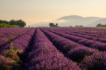 Papiers peints Grenat Champ de lavande en Provence, France. Plateau de Valensole. Lever de soleil, brume de matin.