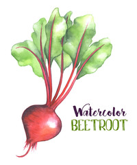 Watercolor beet root and leaves isolated on white background. Beetroot handdrawn illustration