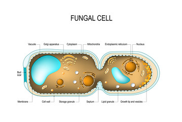 Fungal hyphae cells