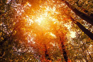 Wall Murals Bestsellers golden autumn scene in a park and the sun shining through the trees and blue sky