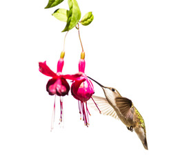Female ruby throated hummingbird flying isolated on a white background.