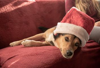 Hübscher Mischling Hund mit Weihnachtsmütze. Mischling: Griechischer Jagdhund und Schäferhund