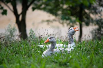 Pomerania house geese lying in the flowering meadow in a garden