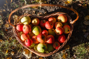 Top view of the basket with red apples on the grass in the autumn season. Basket with apples on the autumn grass.