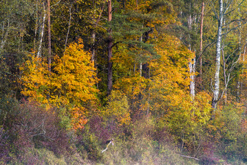 The forest landscape. A morning sunlight in the autumn forest, green and golden leaves. Sigulda, Latvia