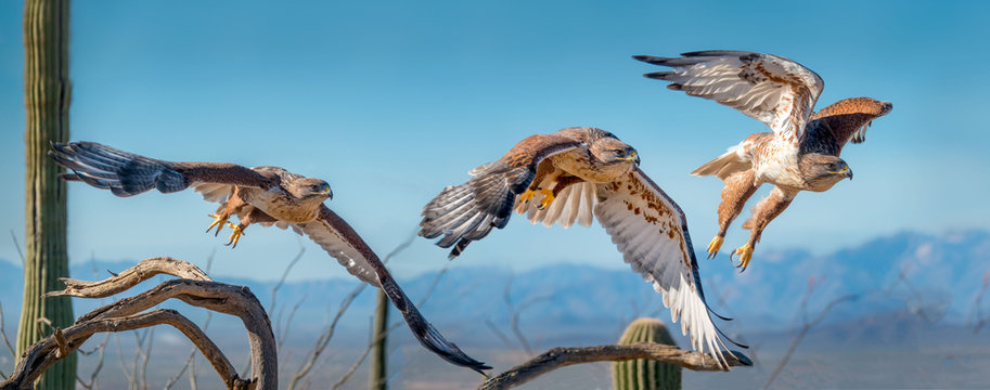 Ferruginous Hawk on branch in Sonoran Desert Flying Sequence