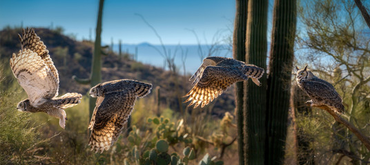 Great Horned Owl in Sonoran Desert Daytime Flying Sequence