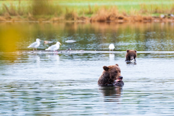 Large adult female Alaskan brown bear standing in Brooks River eating a salmon, with cute cub and fall color in background, Katmai National Park, Alaska, USA