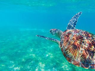Sea turtle closeup in blue sea. Sea turtle in tropical seashore, underwater photo of marine wildlife.