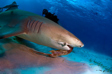 Lemon Shark Feeding Some Bait