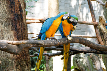 Blue and Yellow Gold Macaw Parrot Beautiful Birds in Zoo