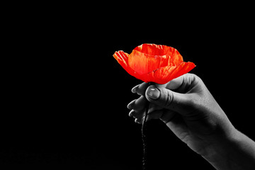 Stores photo Poppy Red poppies on a dark background