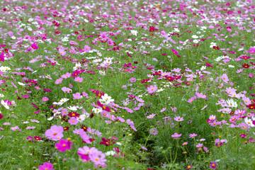 Cosmos Flower / Furusato Plaza in Sakura City, Chiba Prefecture, Japan