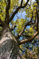 Wall Mural - majestic old oak tree with large tree trunk and formidable branches