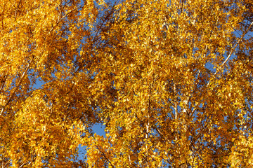 Leaves on a tree in autumn as a background