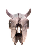 Skull of a cow in a front view isolated on white. Short skull horns.