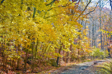 Autumn leaves of orange, yellow and red are brilliant when viewed against the blue sky walking through a forest during fall season with the changing tree leaves is special to fall season