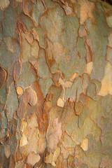 textur aus Rinde vom Baumstamm einer Platane