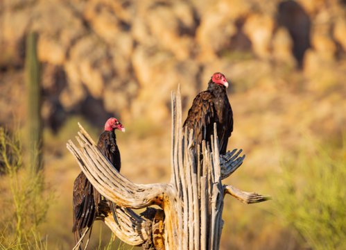 A pair of Turkey vultures perch upon a dead cactus in a desert wilderness area in east of Phoenix in Arizona