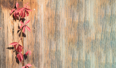 Colorful Autumn Virginia Creeper, Wild Grape Background. Abstract Purple, Red and Orange Autumn Leaves on the wooden Background. copyspace