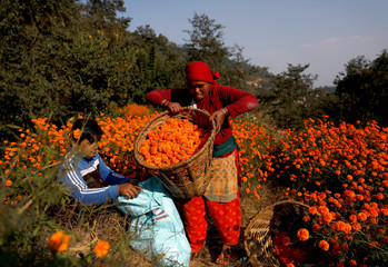 A woman unloads a basket filled with marigold flowers, used to make garlands and offer prayers, before selling them to the market for the Tihar festival, also called Diwali, in Kathmandu