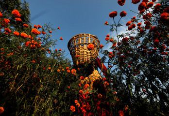 A woman walks along the field carrying a basket filled with marigold flowers, used to make garlands and offer prayers, before selling them to the market for the Tihar festival, also called Diwali, in Kathmandu