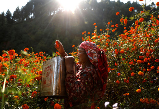 A woman picks marigold flowers, used to make garlands and offer prayers, before selling them to the market for the Tihar festival, also called Diwali, in Kathmandu