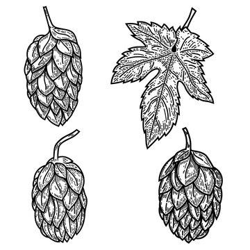 Set of beer hop illustrations in engraving style. Design element for logo, label, emblem, sign, poster.