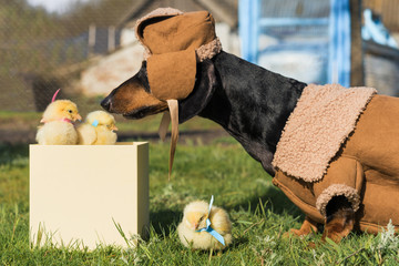 A dachshund dog dressed in warm country clothes, a sweatshirt and a hat, sniffs newborn yellow chickens that look out of a gift box.