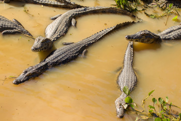 Yacare caimans in water