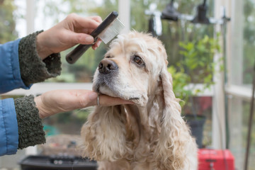 Combing the head of the American Cocker Spaniel in dog salon. Horizontally.