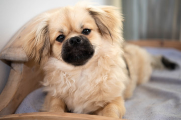 tibetan spaniel puppy laying in homemade dog bed