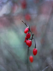Fototapeta Owoce jagody goji jesień czerwone obraz