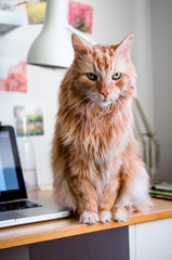 Serious magestic ginger cat looking at the camera while sitting on a working table.