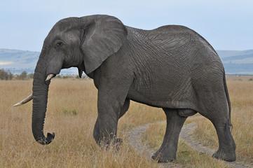 Foto op Canvas Olifant elephant in kenya