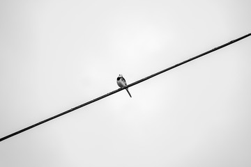 wagtail sitting on telephone line, isolated