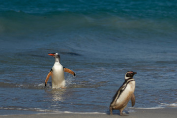 Gentoo Penguin (Pygoscelis papua) and Magellanic Penguin (Spheniscus magellanicus) coming ashore on a large sandy beach on Bleaker Island in the Falkland Islands.