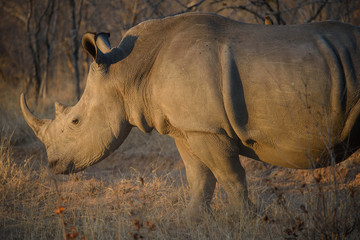 White Rhinoceros in South Africa