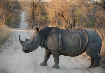 White Rhinoceros Walking