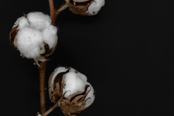 Dried white cotton flower blossoms on black background